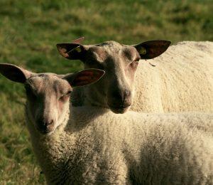 sheep-4467199-1280