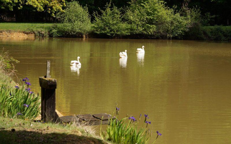 Parc cygnes château de Montigny sous Perreux