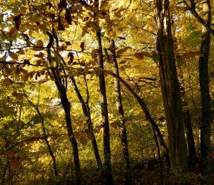 Arbres parés d'ocre à l'automne