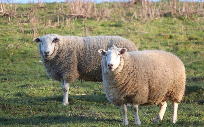 sheep-4961757-1280